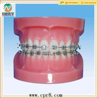 High Quality Medical Dental Orthodontics Teeth Typodont Model