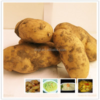 New crop Holland potato/fresh potato