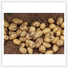 China fresh potatoes supplying potatoes to export