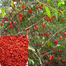 High Purity Chinese Herbal Powder/Goji Berry Juice Powder/natural herbal remedies