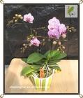 Select em miniatura variegada orquídea Phalaenopsis mudas Taiwan Orchid berçário Mini Phalaenopsis Flask mudas