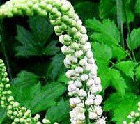 fda登録メーカー価格8%トリテルペン配糖ブラックコホッシュの根エキス