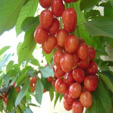 2015Newell price and organic acerola cherry extract powder body scrub wholesale