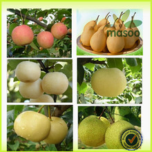 2014 New Season Fresh Golden Pear/Fresh Pears Bulk Purchase/Export 2014 New Season Fresh Golden Pear