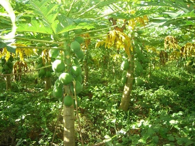 red lady papaya cultivation guide
