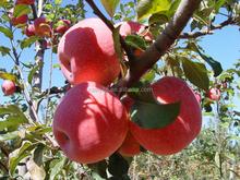 2015 good quality apple