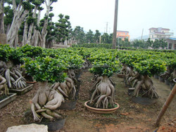 5000 gram Ginseng Ficus Microcarpa