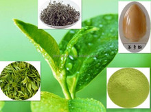 Organic Green tea extract, with active ingredients EGCG, L-theanine, Tea Polyphenol