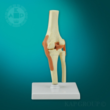 modelo de la rodilla anatómica para la venta y la rodilla educativo modelo conjunto