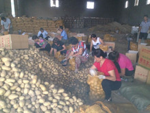World price of holland potato fresh potato in china with good quality