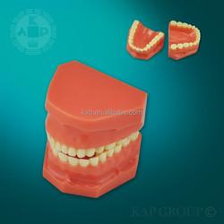 artificial human size PVC anatmocal silicon medical dental model