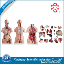 Advanced promotion plastic medical human torso doll