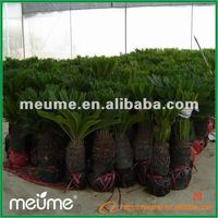Outdoor Landscape Trees For Sale (Cycas Revolute)