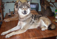 Animatronic Dire Wolves for Sale