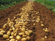 chinese fresh new crop yellow POTATOES