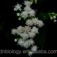 Black cohosh extract 2.5% Triterpenoid saponins Black Snakeroot Extract Black cohosh extract/P.E powder 10:1