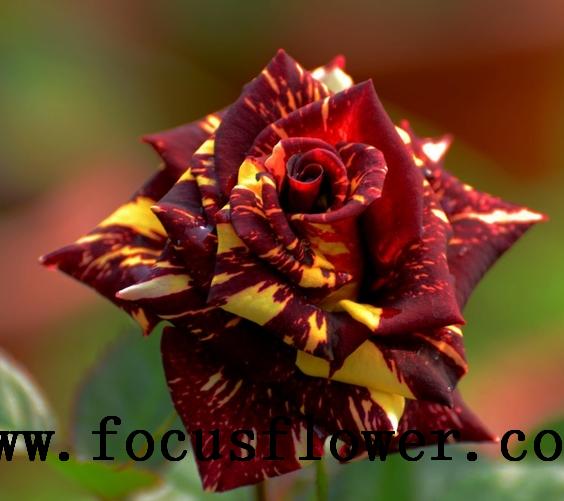 professionnel lexportation racines nues roses de naturel rose fleurs rose meteor douche - Grossiste Decoration Mariage Pour Professionnel