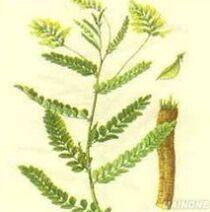 Natural herb Astragalus Root Extract Cycloastragenol powder