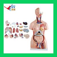 85CM Unisex Torso Model 85cm(20parts),Male Female Organs