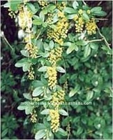 Pure herbs Barberry