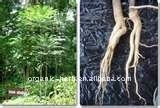 Tongkat Ali Extract 200:1(Eurycoma Longifolia Jack)