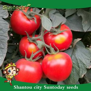 Assorted de vegetais da herança hybrid sementes de tomate vegetal vermelho preço empresa de israel efeito de estufa (22024)