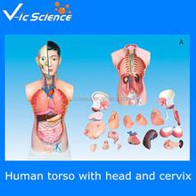 Human organs model, plastic human body parts