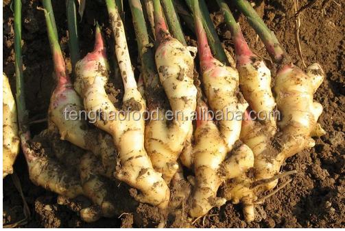 fresh ginger plant.png