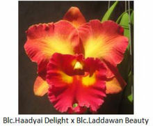 Cattaleya Orchid Blc.Haadyai Delight...wan Beauty.png - See more at: http://chhajedgarden.com/Cattaleya-Orchids/Cattaleya-Orchid