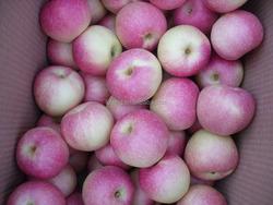 Fresh Gala Apple Price from Shandong Origin