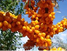 Seabuckthorn Fruit Extract Powder