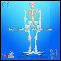 Medical anatomy skeleton(85CM) mini human skeletons