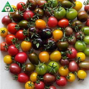 Alta resistência de alto rendimento híbrido f1 cereja sementes de tomate vegetais com efeito de estufa para o cultivo de