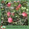 Red blush fuji apple fruit