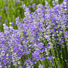 pure essential oil Lavender Essential Oil Whole Sale