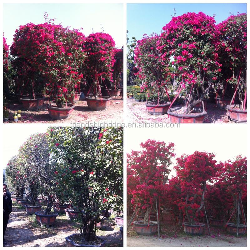 Petit moyen grande taille multicolore fleurs bougainvillea for Bonsai artificiel grande taille