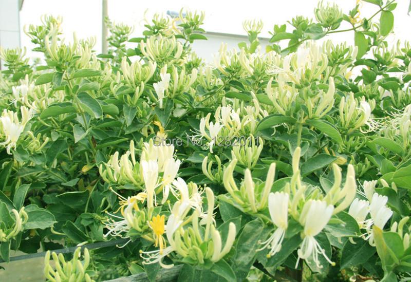 100 semillas madreselva balc n jard n enredadera plantas - Madreselva en maceta ...