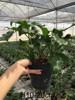"""live tropical plant Philodendron Xanadu """"little angel"""""""
