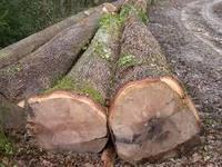 Oak, Beech, Ash Logs Ex Germany