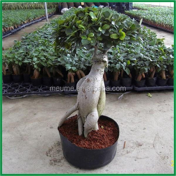 Ficus ginseng : taille, arrosage et conseil d entretien - Jardiner Malin