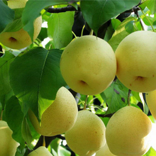Fresh golden pear class 1 sweet golden pear organic golden pear 1