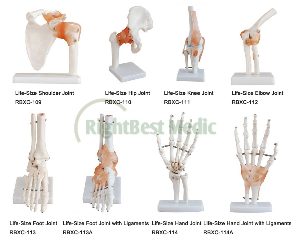 Life Size Human Foot Joint Skeleton Model With Ligaments Skeleton Of