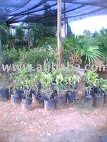 tanaman hiasan-