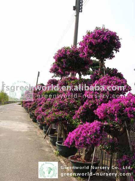 Spectabilis bouganville for Bouganville fioritura