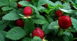 Indian Mockstrawberrg Herb Extract power