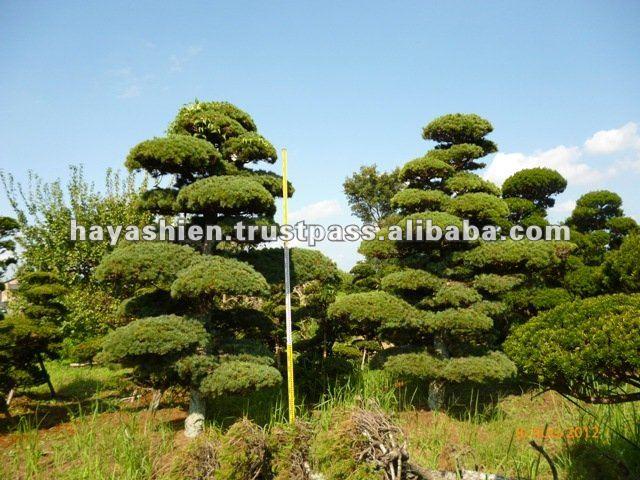 albero di pino da giardino giapponese