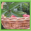 Natural materials and environmentally friendly oval wicker fruit basket