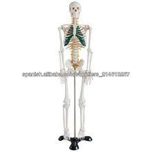 Modelo de 85cm esqueleto humano con nervios