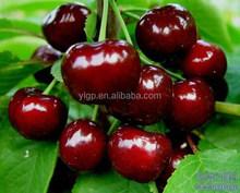 bagged 18 degree sugar content of china fresh cherries