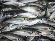 CHAMPION FROZEN MACKEREL FISHES. Include your contact email address for a fast reply back.